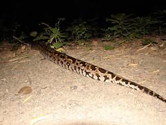 Indian Rock Python (samir dixit) Tags: wild india wildlife python samir dixit wildlifeimages dangs indianrockpython pythoninwild pythoningujarat snakesofgujarat pythonindangs snakesofdang longestpython pythonindia snakesofindia samirdixit