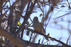 844 Blue Waxbill (murrayN) Tags: africa bird explore namibia etosha waxbill bluewaxbill uraeginthusangolensis uraeginthus explorenamibia namibialodgesafari nlsep06
