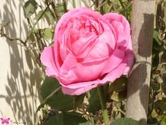 *Pink Rose (BringeBag) Tags: flowers rose garden saudiarabia sonycybershot pinkrose jubail nizar mysweethome dscp93a nissar
