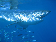 Great white shark takes the bait