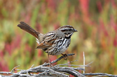 Song Sparrow; Melospiza melodia (MissionPhotography) Tags: california county orange bird fruits sparrow blend acai songsparrow melospizamelodia melospiza melodia monavie