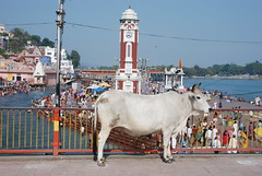 Mooooooooo (whitespikedevil) Tags: india cow sacred ganga haridwar