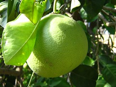 "pomelo? • <a style=""font-size:0.8em;"" href=""http://www.flickr.com/photos/70272381@N00/299106072/"" target=""_blank"">View on Flickr</a>"