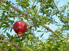 "pomegranate • <a style=""font-size:0.8em;"" href=""http://www.flickr.com/photos/70272381@N00/299106619/"" target=""_blank"">View on Flickr</a>"