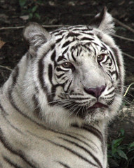 Portrait White Tiger (lemperleconnie) Tags: whitetigers cincinnatizoo interestingness329 i500 animaladdiction specanimal explore19nov06 animalkingdomelite abigfave lemperleconnie allrightsreserved