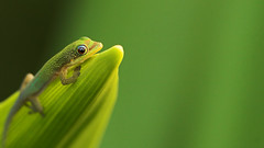 Appreciation (konaboy) Tags: baby green sunrise day gecko madagascar spiderlily 32608