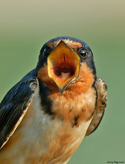 Shout - Barn Swallow