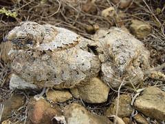 Pauraques (Nyctidromus albicollis) (* Hi Tech Bio *) Tags: naturaleza bird nature mxico aves camouflage desierto pajaro garca nuevolen specnature pauraque corraldelosbandidos