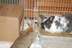 image23 (Mike Procario) Tags: cute bunnies kiss adorable rabbits