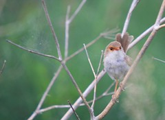 Superb Fairywren - female (marj k) Tags: newcastle australia wren fav passeriformes superbfairywren maluruscyaneus malurus maluridae stocktonsandspit animalkingdomelite ausbird