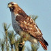 Red-tailed Hawk  By  Jack Bird