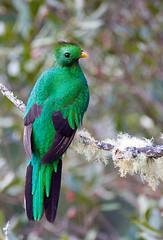 Resplendent Quetzal (graspnext) Tags: bird costarica quetzal resplendent resplendentquetzal pharomachrusmocinno pharomachrus mocinno photofaceoffwinner pfogold