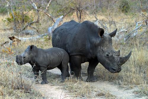 Rinoceronte negro da África ocidental está oficialmente extinto 312326185_d164de8fcc