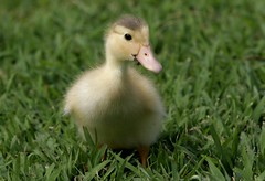 I'm Adorable and I Know It (wvgasguy) Tags: bird ilovenature duck wildlife duckling explore breathtaking blueribbonwinner animalkingdomelite mywinners cotcbestof2006 impressedbeauty superbmasterpiece onlythebestare flickrlovers