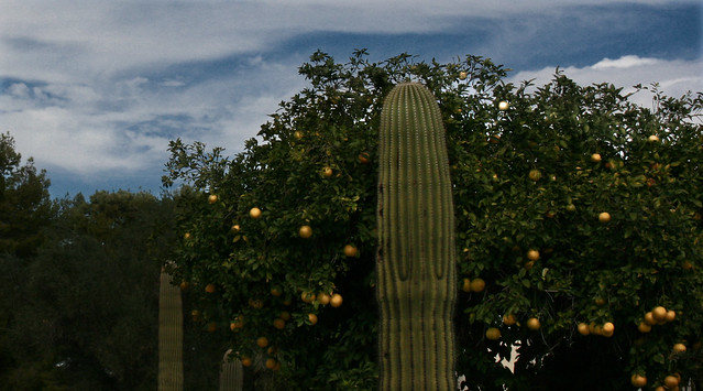 Palm Trees and Cactus, The Orange Tree