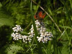 Butterfly on White 3 (Kirsten M Lentoft) Tags: white flower green grass butterfly denmark small kloster esrum momse2600 kirstenmlentoft