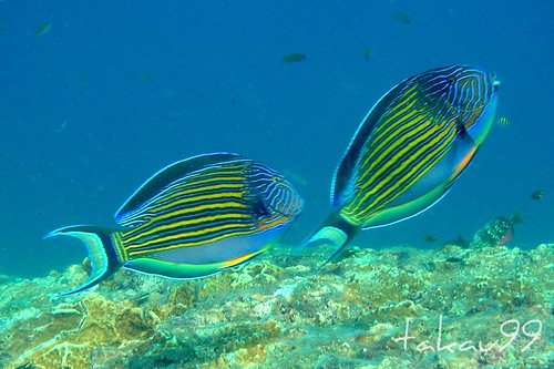 Lined Surgeonfish at Similan Islands, Thailand