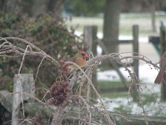 female cardinal eating grapes