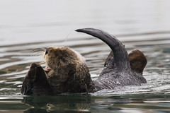 sea-otter-morro-bay_01
