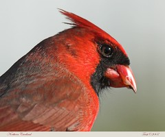 Northern Cardinal (Momba (Trish)) Tags: red bird nature birds nikon bravo cardinal tennessee nikkor soe cardinaliscardinalis momba northerncardinal nikond200 featheryfriday interestingness257 i500 specnature flickrnature nikonstunninggallery specanimal brokenbeakcardinal animalkingdomelite abigfave avianexcellence explore02march2007