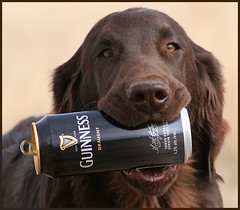 Anyone for Guinness? (Blazingstar) Tags: irish dog beer guinness fetch hold stpatricksday flatcoatedretriever anawesomeshot tinbie fetchmeabeer