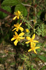 1276946184 St_John's-wort 2007-08-29_19:39:45 Greenham_Common
