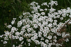 534549573 Candytuft 2007-06-06_19:33:22 Aston_Rowant