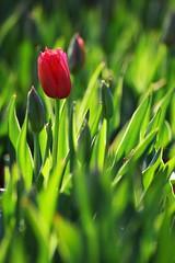 Floriade 1 (Deeble) Tags: pink flowers sunset orange plants flower green slr 20d colors contrast canon photography flora warm afternoon shadows vibrant rich vivid strong canberra breeze floriade settingsun planted colortheme coolair richlight