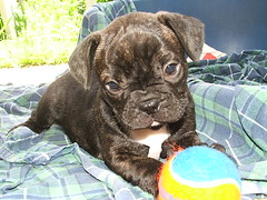 baby dooba (yaelANDyair) Tags: dog pets puppy frenchbulldog dooba interestingness161 i500
