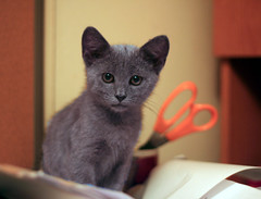 My office helper - sitting in the middle of all my paperwork! (Boered) Tags: office kitten desk scissors papers jinx