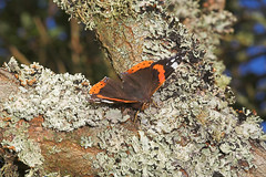 """Red Admiral Butterfly (Vanessa atalanta) • <a style=""""font-size:0.8em;"""" href=""""http://www.flickr.com/photos/57024565@N00/261323253/"""" target=""""_blank"""">View on Flickr</a>"""