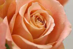 rose/orientalcuriosa