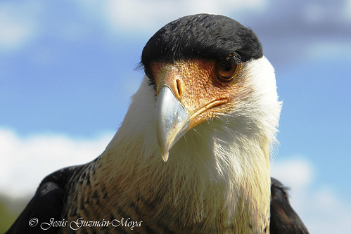 Caracara (Caracara plancus)