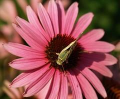 Woodland Skipper Butterfly (tollen) Tags: pink shadow flower green butterfly ilovenature washington echinacea skipper coneflower troutlake abigfave