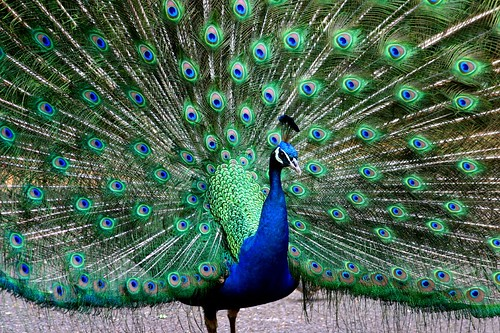 Hawaii Peacock