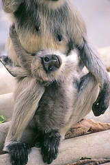 young hanuman langur (wildlens) Tags: baby india nature animal monkey nikon wildlife indian  young hanuman primate langur thepca jadeja 70300g manjeet yograj manjeetyograjjadeja