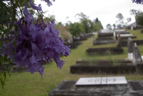 IMGP2149 jacaranda cemetery