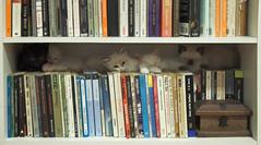 Cama de Gato [Cat's Cradle] (Jim Skea) Tags: panda kitlens kittens books bookshelf nikond50 yuki yami pandora livros mizu gatinhos estante jimsk 20061015 nunki thecatwhoturnedonandoff