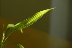 Green Leaf (depth of field test) (mnadi) Tags: macro green yellow nikon dof bokeh curves curvy d200 curve depth flexible  nikonstunninggallery