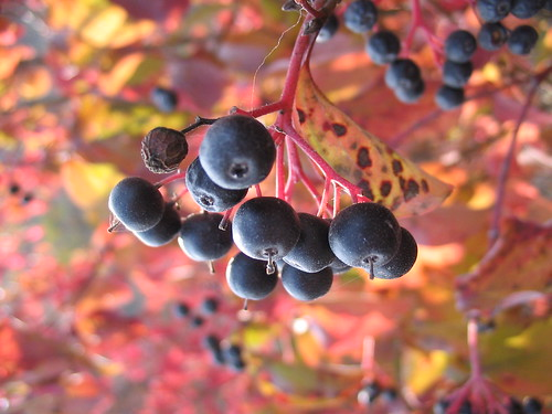 fox grapes, the common wild grapes of North America