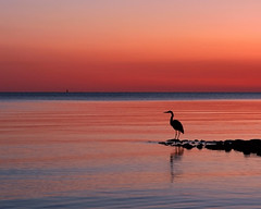 Heron at sunrise (8230This&That) Tags: morning sky beach heron nature water birds sunrise ilovenature outdoors bay bravo quality scenic chesapeake naturesfinest splendiferous specnature mywinners abigfave anawesomeshot bestnaturetnc07