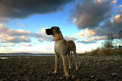standing tall (snapstill studio) Tags: dog michigan greatdane tex petoskey martinmcreynolds