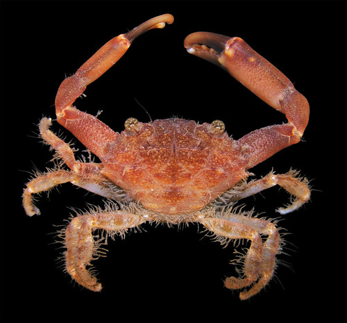 Xanthid crab from Fiji...