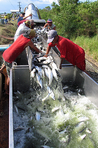bangus sarangani davao del sur fish workers milkfish harvest Pinoy Filipino Pilipino Buhay fihserman people pictures photos life Philippinen  菲律宾  菲律賓  필리핀(공화국) Philippines