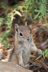 Bryce Canyon Ground Squirrel (James Marvin Phelps) Tags: park wild animal outdoors photography james rodent utah squirrel ground canyon national bryce addiction phelps goldenmantledgroundsquirrel spermophiluslateralis specanimal animalkingdomelite mandj98 virtualjourney