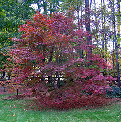 Japenese Maple (Nathan Gilliatt) Tags: autumn tree japanesemaple
