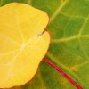 Autumn glory (cattycamehome) Tags: autumn red flower macro green nature leaves yellow tag3 taggedout leaf bravo tag2 all colours tag1 quote decay glory © rights veins reserved camus nasturtium catherineingram november2006 abigfave cattycamehome allrightsreserved©