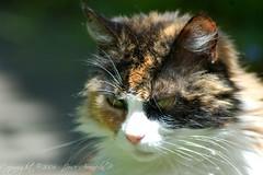 Pensativa (Pepe Araneda) Tags: pet cat gato thinking katze haustier mascota pensativa nachdenklich