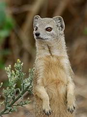 Yellow Mongoose (Makgobokgobo) Tags: africa mammal botswana chobe mongoose yellowmongoose cynictispenicillata cnp chobenationalpark specanimal cynictis animalkingdomelite mababe bfgreatesthits