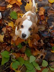 fall (Keli Schimelpfenig) Tags: dog beagle puppy shelby jackabee